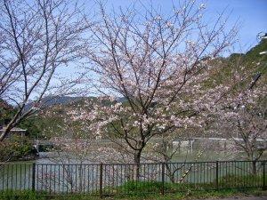 sakura2009.3.21.JPG