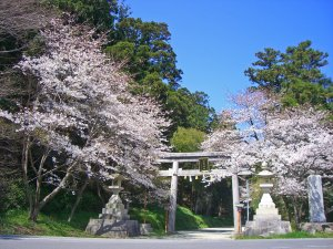 須賀神社の桜