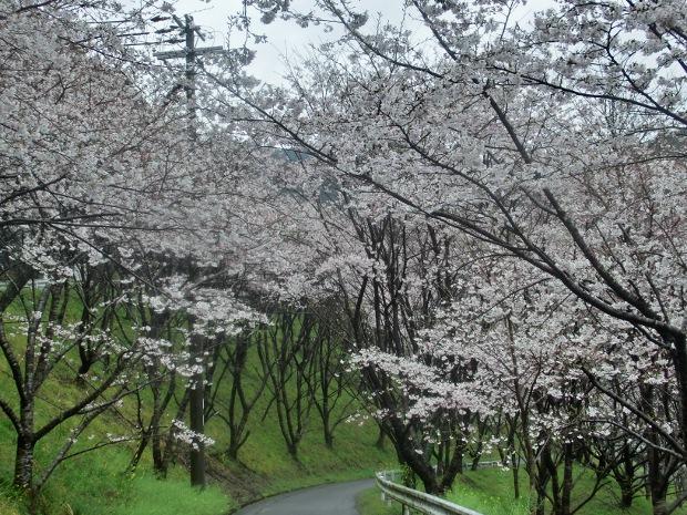 2016.4.1sakura-2.JPG
