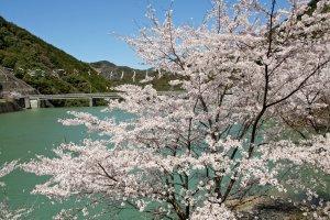 sakura2011.4.4-3.JPG